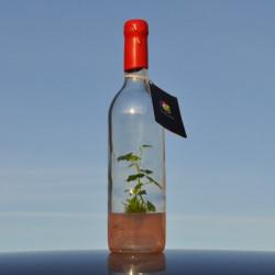 Pied de vigne en bouteille GreenBottle bordelaise