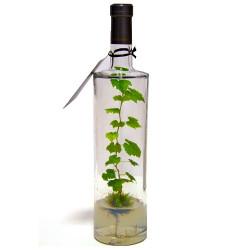 Pied de vigne en bouteille Kendo
